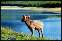 Mouflon intrigué