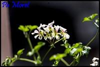 Grappe de fleur blanche