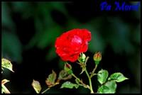 Rose a demi ouverte